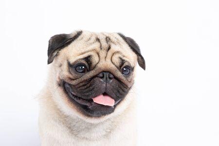 Simpatico cane di razza carlino sorriso con felicità sentirsi così divertente e fare una faccia seria isolata su sfondo bianco, concetto sano di cane di razza pug