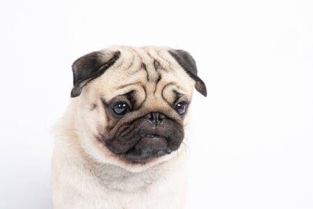Raza de perro pug enojado haciendo cara seria y mirando, aislado sobre fondo blanco.