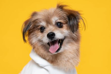 Mix breed happy dog smile and cheerful on yellow background ready to summer,Happiness dog Concept