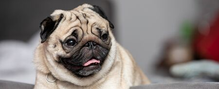 Banner cute dog pug breed have a question and making funny face feeling so happiness and fun,Selective focus,Dog Friendly Concept