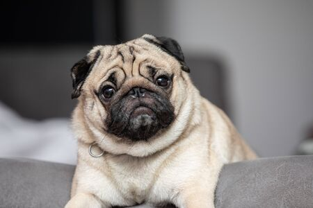 cute dog pug breed have a question and making funny face feeling so happiness and fun,Selective focus,Dog Friendly Concept