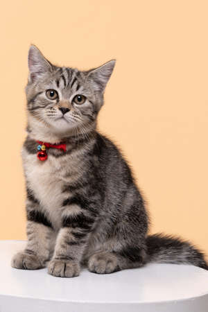 Portrait of Cute young cat Scottish breed on Beige background