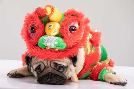 Happy dog pug breed in Chinese New Year Lion dance costume for Happy and lucky year