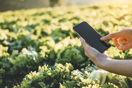 Farmer checking touchpad in Nappa cabbage Fram in summer
