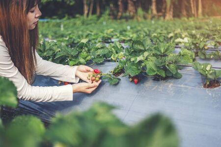 Agronomist Woman using Smartphone checking Strawberry in Organic Strawberry Farm Banco de Imagens