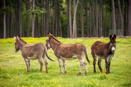 Three donkeys in a field with one seemingly shunned
