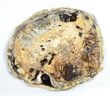 petrified fossil: A tree slice of petrified wood from Madagascar, dating from the Triassic Period, 250m to 200m years old