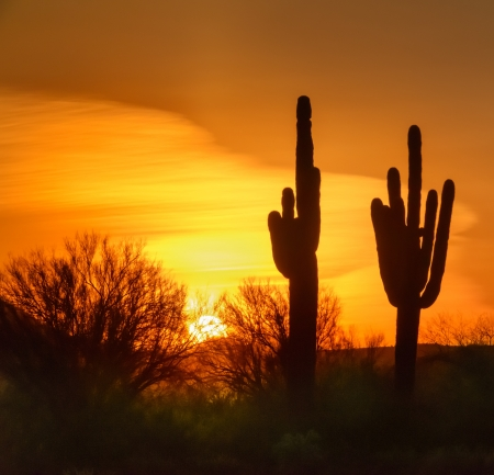 Saguaro Cactus at Sunset in the desert of Mesa Arizona