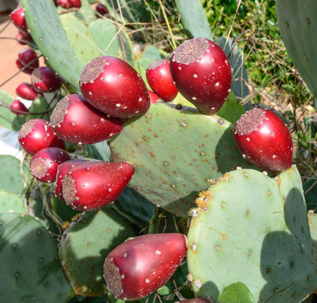 prickly pear: A Prickley Pear Cactus with ripe fruit