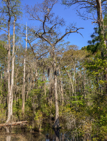 cyprus tree: Bald Cypress trees in the swamps of First Landing State Park, located in Virginia Beach, Va.