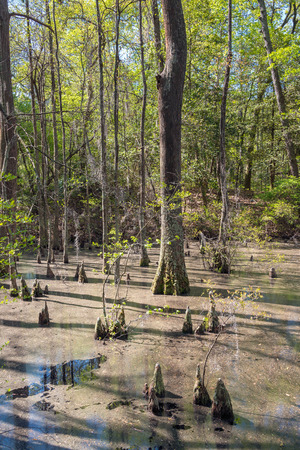 Bald Cypress trees in the swamps of First Landing State Park, located in Virginia Beach, Va. Фото со стока - 39386364