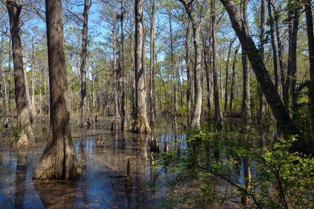 Bald Cypress trees in the swamps of First Landing State Park, located in Virginia Beach, Va. Фото со стока - 39386377