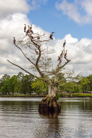 cormorants: Cormorants resting on a Bald Cypress tree on the Chickahominy river in Virginia.