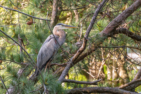 great bay: A Great Blue Heron resting in a pine tree on a small lake just off the Chesapeake Bay