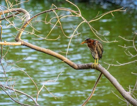 shorebird: Green-backed Heron perched on a branck on a lake in Virginia Beach, Va.