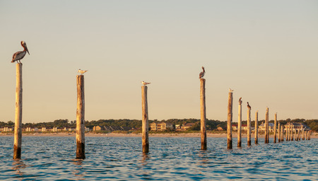 Seagulls and Pelicans sitting on Fishing Net pylons in the Chesapeake Bay at Sunrise.