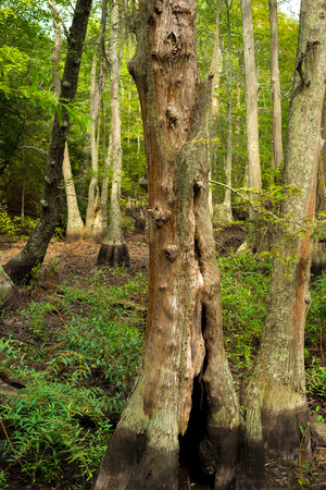 Bald Cypress trees in a bogg located at the First Landing State park in Virginia Beach, Va.