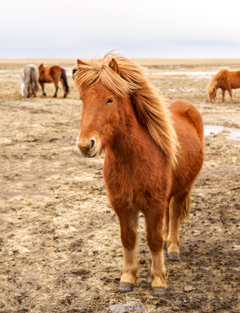 Beautiful Icelandic horses roaming the countryside in winter.