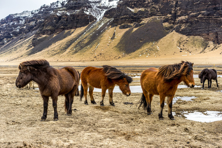 roaming: Beautiful Icelandic horses roaming the countryside in winter.