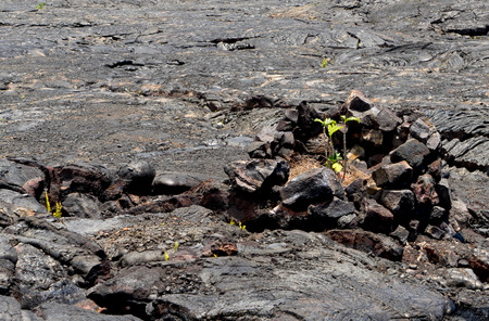 vegatation: New growth returns to the ground where the lava burned away all the vegatation.