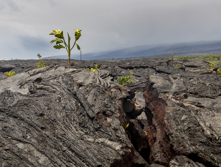 poke: A large lava field on the big island of Hawaii on its eastern side of the island. New plant growth is beginning to poke its way through the lava. Stock Photo