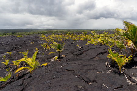 side order: A large lava field on the big island of Hawaii on its eastern side of the island. Locals began planting palm trees in order to help hold soil and black sand.