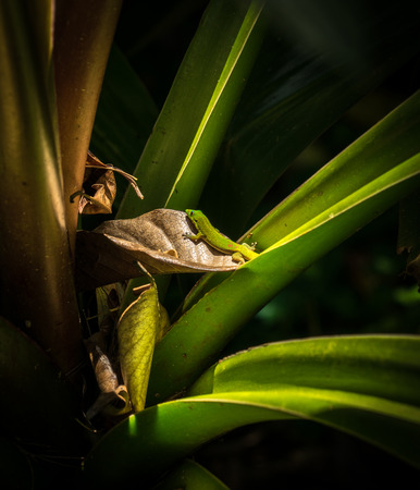 A gecko examining a dried leaf on an aloe plant in the rainforest of the Big Island of Hawaii