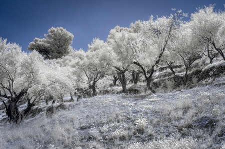 720nm Infrared of some olive trees in Spain. Stock Photo