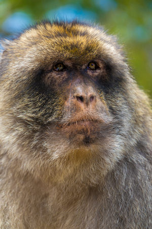 A Gibraltar Barbary Macaque monkey that lives near the top of the Rock of Gibraltar. Stock Photo