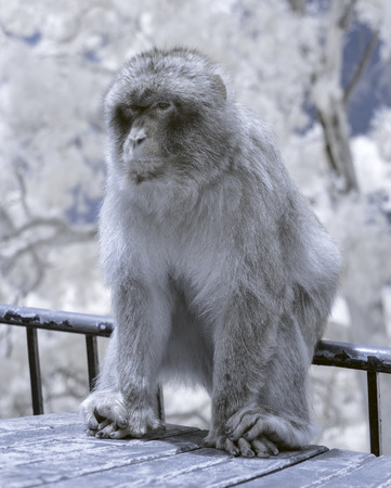 An infrared photo of a  Gibraltar Barbary Macaque monkey that lives near the top of the Rock of Gibraltar. Stock Photo