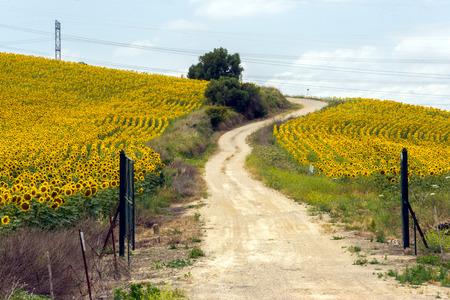 Sun flower fields on the Costa del Sol of Spain. Stock Photo