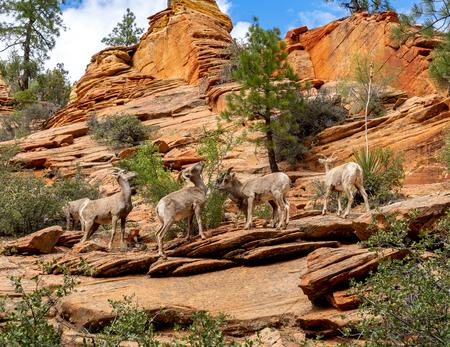 Mountain goats feeding on vegatation in Zion National Park