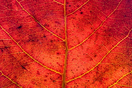 Red leaf texture