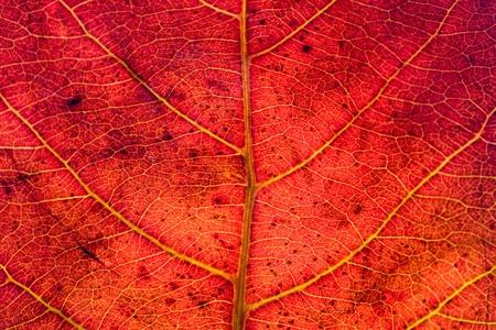macro leaf: Red leaf texture
