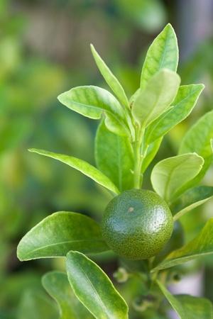 Mini green orange garden photo