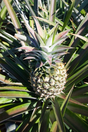 Pineapple garden Stock Photo