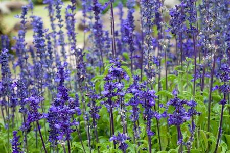 Lavender flower field in thailand Stock Photo