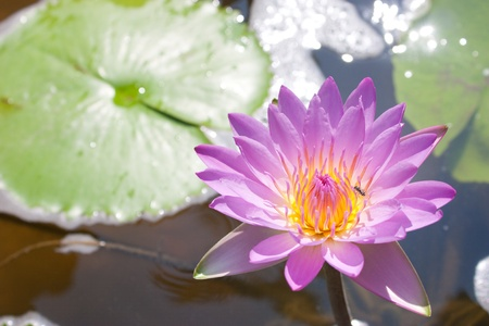 birds of paradise: Pink lotus flower in a pool