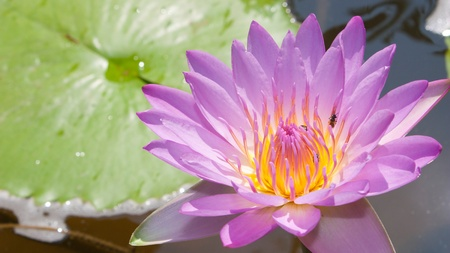 Pink lotus flower in a pool Stock Photo - 9368162