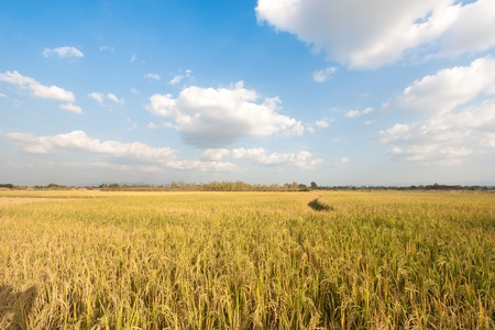paddy fields: The rice field in thailand