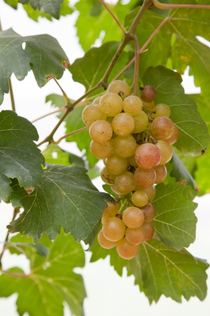 Grape garden photo