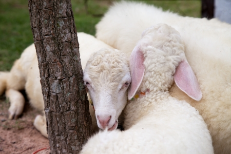 agri: Baby white sheep are sleeping Stock Photo