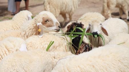양 농장에서 방목
