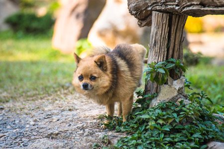 A cute chihuahua urinating on wooden table in home garden. chihuahua of urine in park on asphalt of dog, concept toilet from pets in pairs.