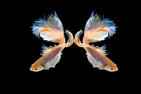 Halfmoon betta beautiful fish. capture the moving moment beautiful of siam betta fish in thailand on black background. Rhythmic of Betta fish, siamese, fighting fish, betta splendens.