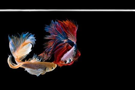Two Halfmoon betta beautiful fish. capture the moving moment beautiful of siam betta fish in thailand on black background. Rhythmic of Betta fish, siamese, fighting fish, betta splendens. Stock Photo