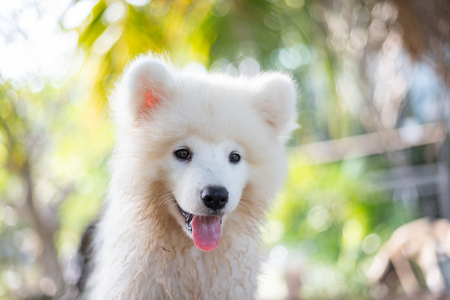 White samoyed puppy dog outdoor in park. Portrait of Samoyed standing on the grass in the park.