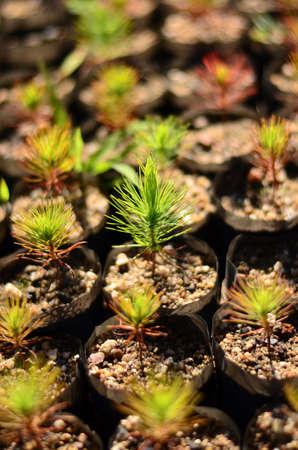 Little Pine tree Stock Photo - 17127178