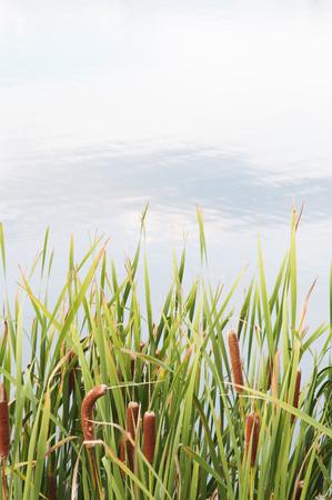 Cattail Grass Background Stock Photo