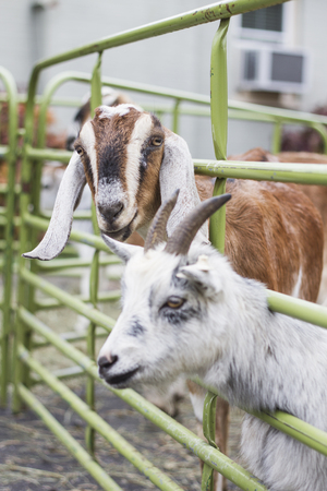 Goats in a cage